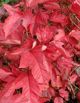 highbush cranberry planting instructions