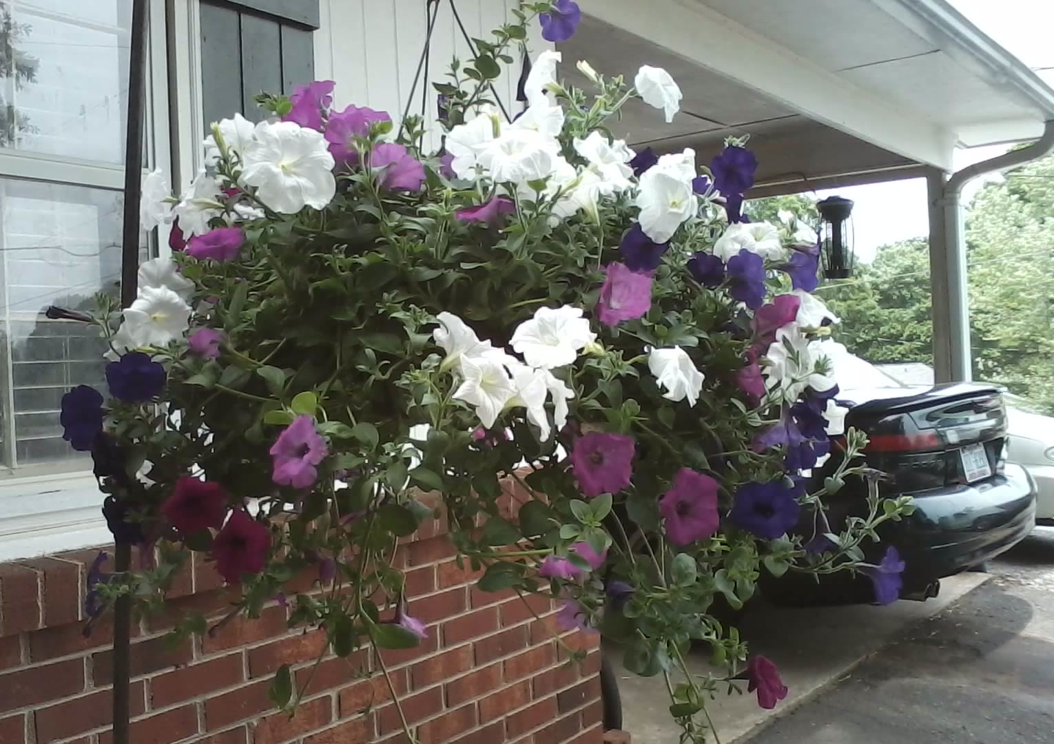 petunia seed planting instructions